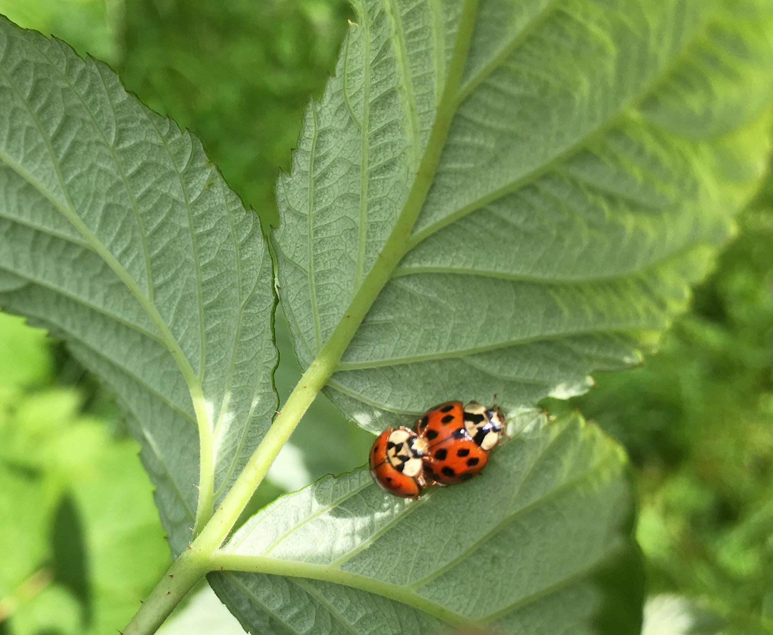Gefräßig und vermehrungsfreudig - der Asiatische Marienkäfer