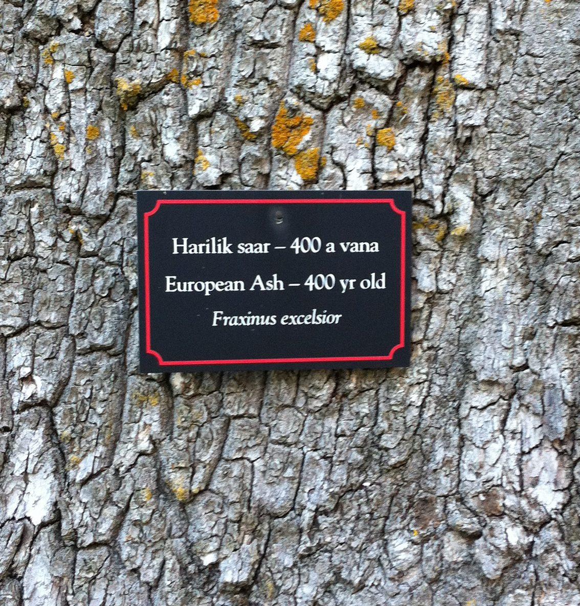 Die Gemeine Esche war 2001 Baum des Jahres