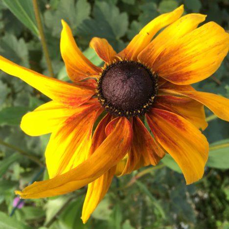 Roter Sonnenhut: Geliebte Problempflanze