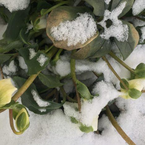 Blüten unterm Schnee