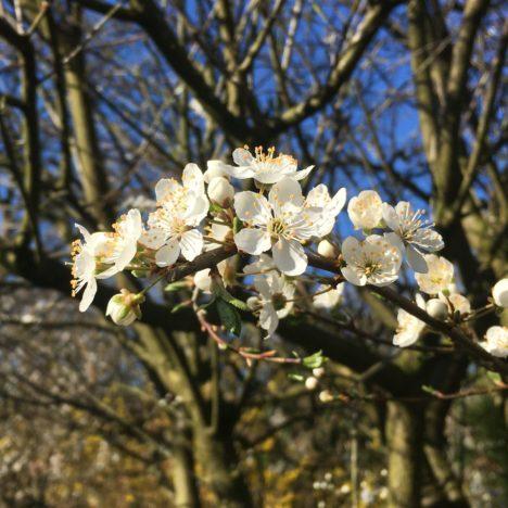 Frühlings-Röschen